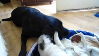 Pug E Labrador