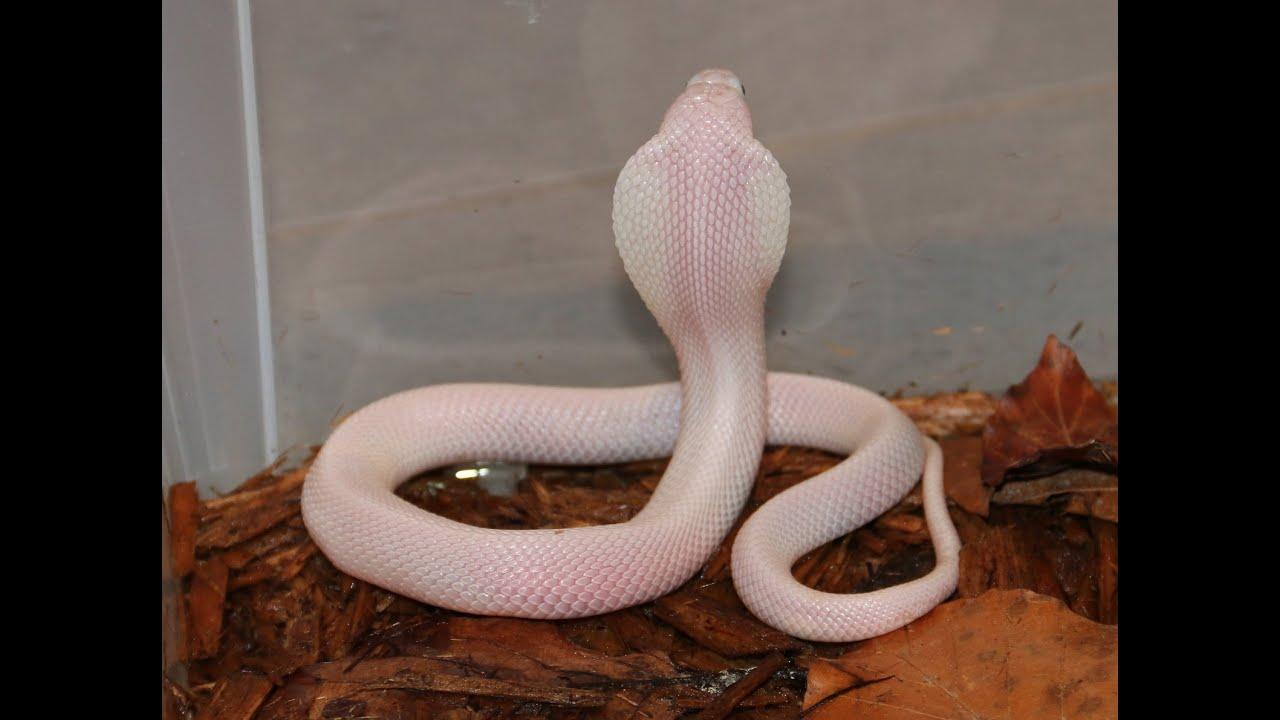 The White Leucistic Cobra Youtube