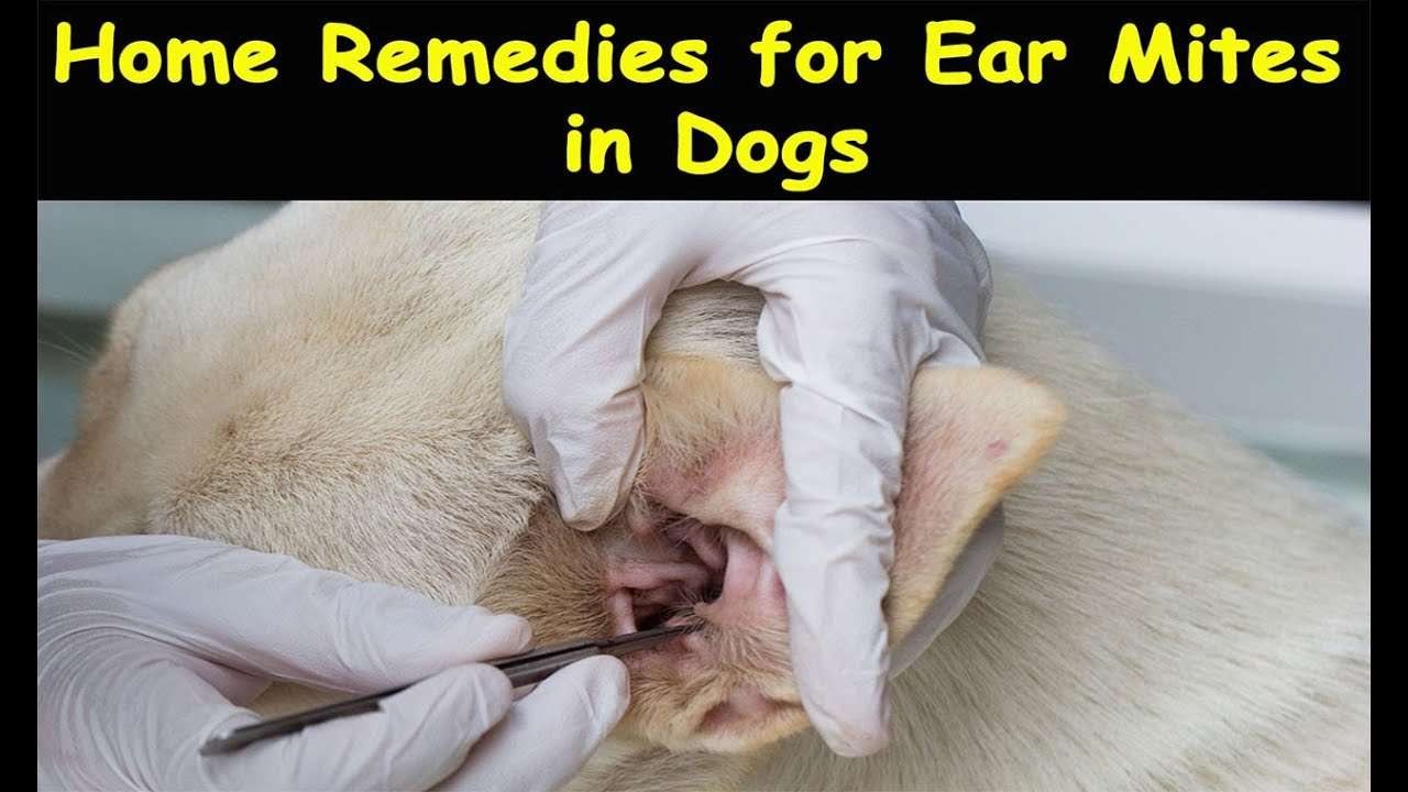 Home Remedies For Ear Mites In Dogs Ear Mites In Dogs Natural