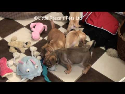 Little Rascals Uk breeders New litter of fruggle puppies
