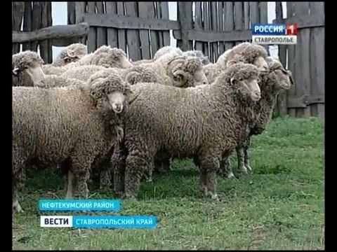 Новую породу овец вывели в Нефтекумском районе Ставропольского края