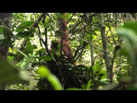 Wild Orangutan Builds A Sleeping Nest