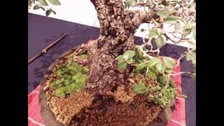 Exposición bonsai Oporto Portugal 2013 decima parte