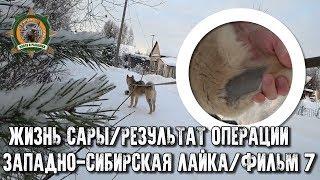 Жизнь Сары/Западно-сибирская лайка/Фильм7/Сара после операции