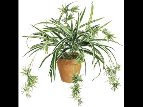 African Spider Plant How to Root Spider Plant And