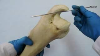 Видеозанятие 10 «Строение и видовые особенности лопатки, плечевой кости и предплечья»