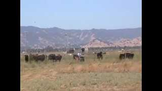 Moving Cattle - Pressure & Release - Horse Herd - Draw Interfering - PT 2- Rick Gore Horsemanship