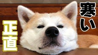 grandchild and German Shepherd dog Akita Inu 週末のんびりの 秋田犬...