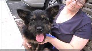 Walt The Wonderful Wheaton Terrier/schnauzer Mix Pup July 28 2013 Love To Live