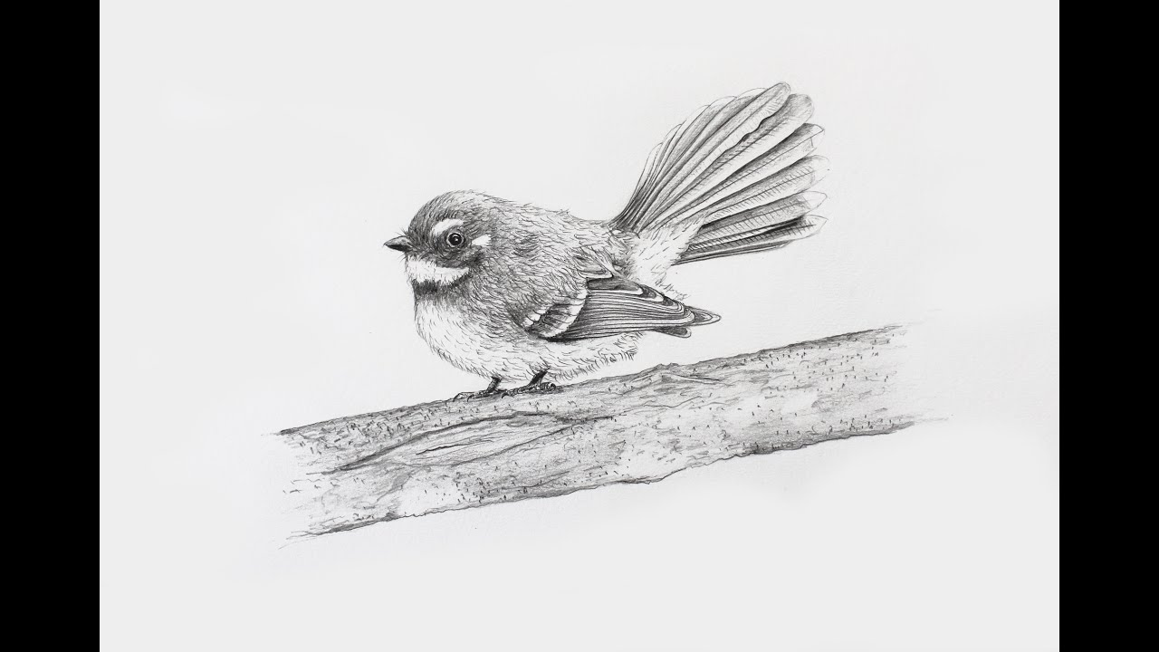 How to draw a realistic fantail using pencil - Intro - YouTube