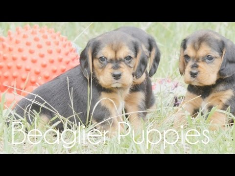 Beagliers puppies!!!