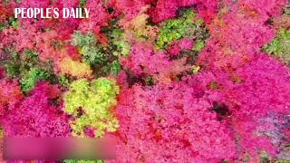Enjoy the drone video showing the bird's-eye view of gorgeous fall leaves burst with colors