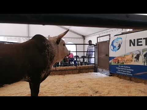 This is how the Nguni Cattle Auction went down today...well one part of it anyway ...