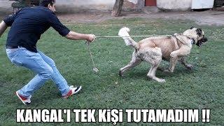 KANGAL'I TEK KİŞİ TUTAMADIM !! ( Kangal Yavrusu, Kangal Çiftliği ) Biggest Dogs, Power Dog