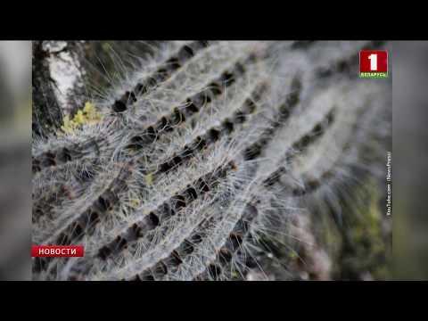 Вопрос: Чем опасны гусеницы дубового шелкопряда, какие могут быть последствия?