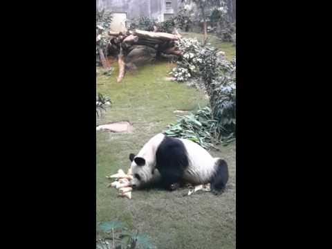 Panda An An  in Ocean Park, Hong Kong