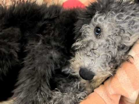 Walter Green the Bedlington Terrier