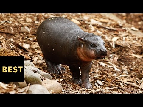 Watch Fiona the Baby Hippo Take Her First Steps and Squeal Forever | BestProducts.com