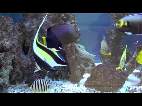 Marine Angelfish Tank 2011
