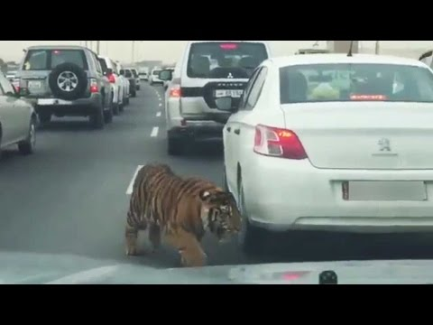 Tiger spotted on busy road in Doha, Video goes viral