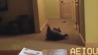 Raccoon does a roll
