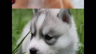 Щенята,собаки,волки