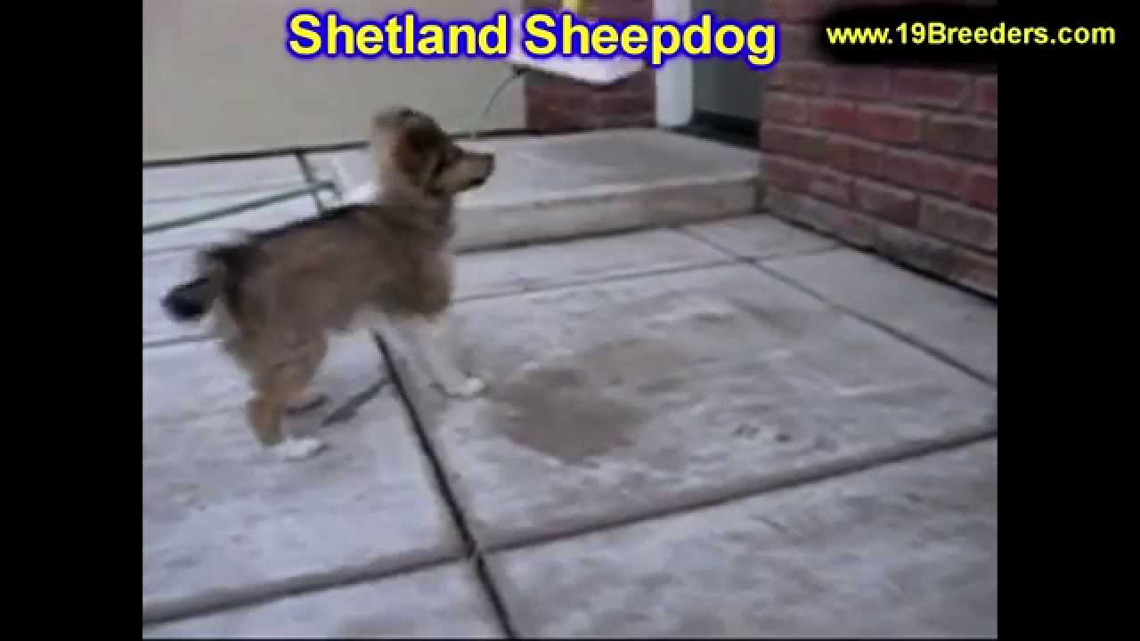 Shetland Sheepdog, Puppies, Dogs, For Sale, In Lexington ...