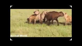 【動物】ビッグヒヒ対ライオン対野生の犬対ヒョウ - 野生動物の攻撃 ---...