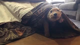 かくれんぼ!コタツ中に潜って隠れる犬に、「バイバイ」と、言ってみると。。。「見ーつけた」(トイプードル)