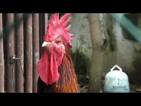 Ayam Pelung Kualitas Kontes Dihargai Hingga Puluhan Juta