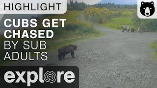 Holly And Her Cubs Get Chased - Katmai National Park - Live Cam Highlight thumbnail