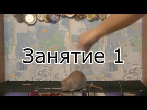 Кликер дрессировка крыс, занятие 1