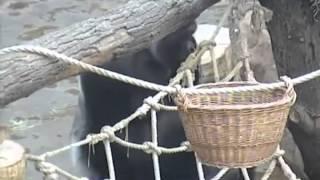 Брачные игры горилл