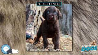 Pudelpointer  Everything Dog Breeds