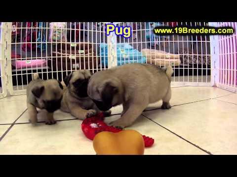 Pug, Puppies, For, Sale, In, Philadelphia, Pennsylvania, PA, Borough, State, Erie, York