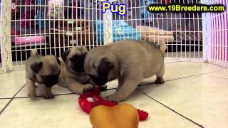 Pug, Puppies, For, Sale, In, Philadelphia, Pennsylvania, Pa, Borough, State, Erie, York