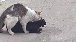 спаривание котов в дикой природе