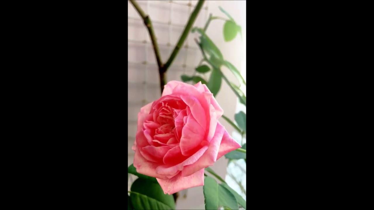 [ NGẮM HOA HỒNG ] Hoa hồng ngoại Mon Coeur Rose - YouTube