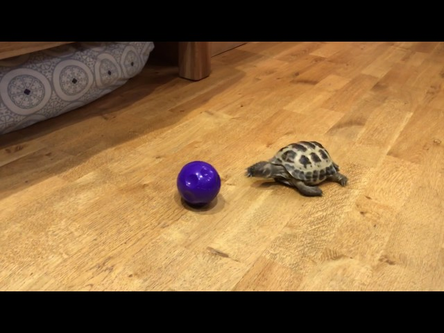 Tortoise thinks it's a dog.