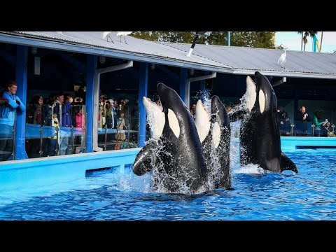 SeaWorld Phasing Out Killer Whale Shows, Breeding