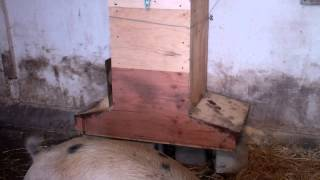 Homemade Pig Feeder