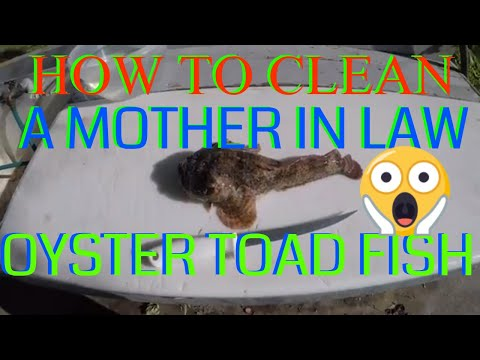HOW TO CLEAN A OYSTER TOAD FISH(mother In Law)