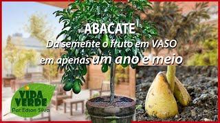 Como Cultivar Abacate Para da Frutos em até um Ano