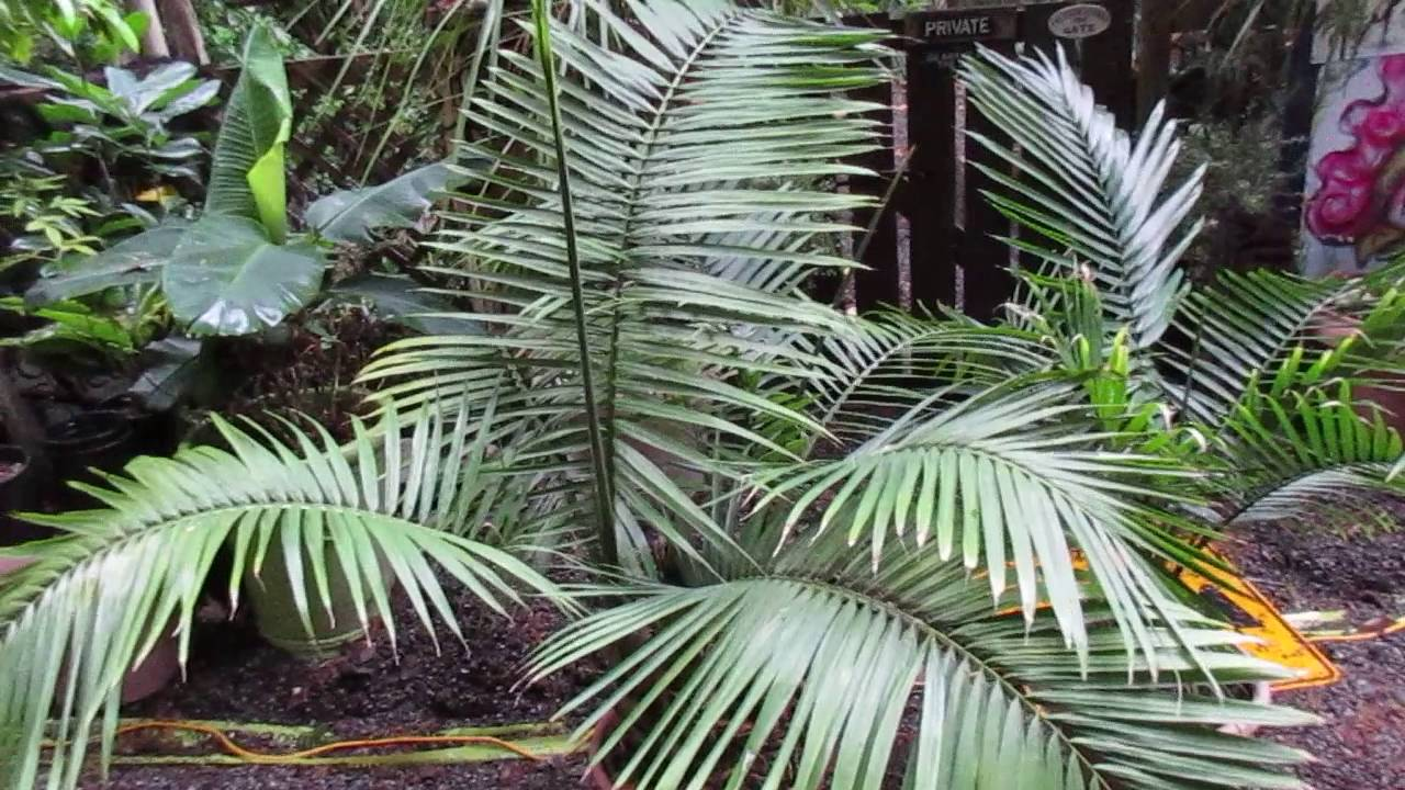 Growing Majesty Palm