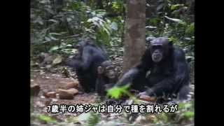 [日本語字幕版] Jokro: the Death of an Infant Chimpanzee -Japanese Subtitile Version