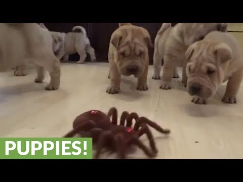 Shar Pei puppies take on robot spider