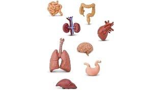3. Обзор систем органов  (8 класс) - биология, подготовка к ЕГЭ и ОГЭ 2017
