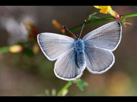 The Endangered Palos Verdes Blue Butterfly