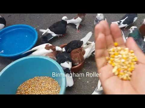 Birmingham Roller Pigeon (Merpati Akrobatik Salto)