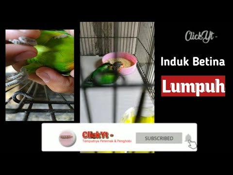 Lovebird Induk Kena Lumpuh Youtube